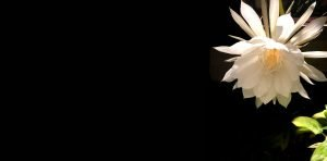Cereus Flower - Contact Block Background