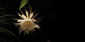 Cereus Flower For Homepage